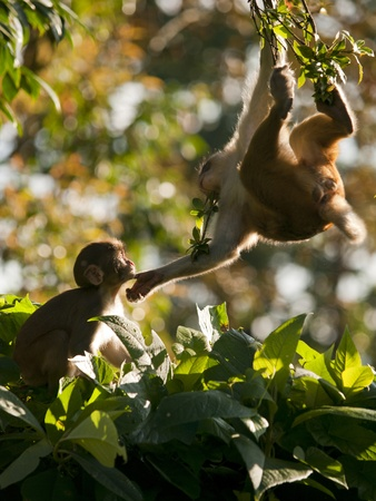 monkey on a tree: A mother macaque shows affection for her cute young
