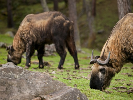The takin (taxicolor whitei) which is a mixture of a cow and a goat is the national animal of Bhutan Stock Photo