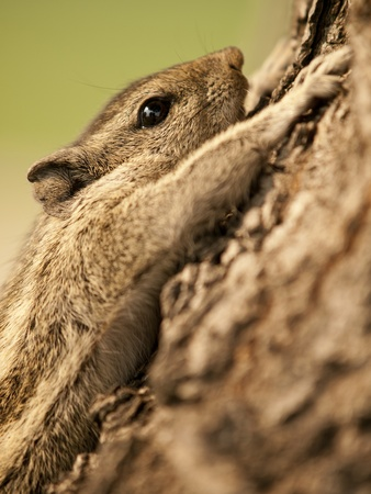 clenching: Small chipmunk clenching himself to a tree Stock Photo