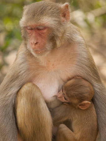 Mother macaque feeding her baby At the Monkey Temple (Galwar Bagh)- Jaipur, India photo