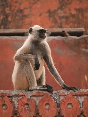 gray langur: The gray langur in Jaigarh Fort - Jaipur, India