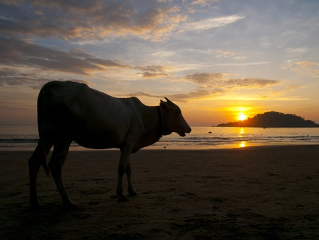 Cow watching the sunset on Palolem beach, Goa, India photo