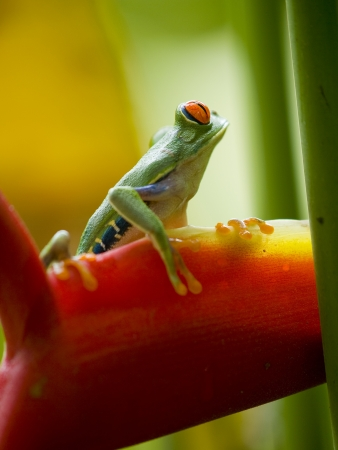 red eyed tree frog: The famous red eyed tree frog (Agalychnis Callidryas) Stock Photo