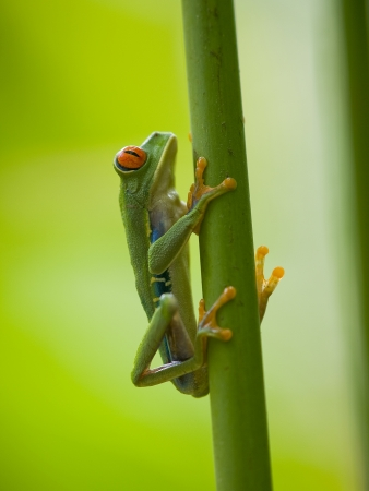 The famous red eyed tree frog (Agalychnis Callidryas) Stock Photo