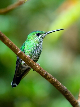 The Green-crowned Brilliant  Heliodoxa jacula  hummingbird in Costa Rica sticking out his tongue Stock Photo