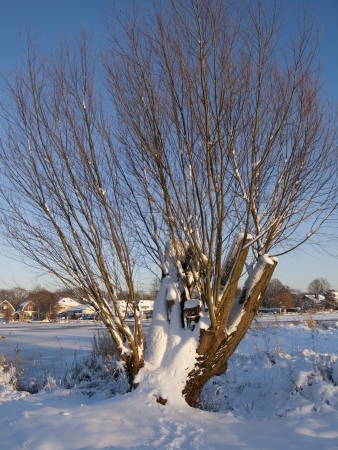 pollard: snow covered pollard willow at the banks of a small lake in The Netherlands Stock Photo