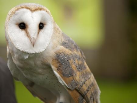 Portrait einer Schleiereule Tyto alba