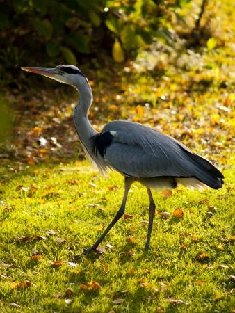 great blue heron: Great blue heron in an autumn landscape