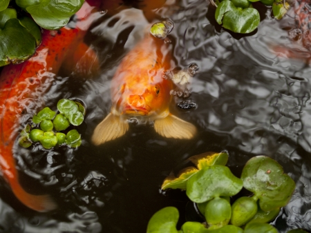 Variety of different koi carp in a pond photo