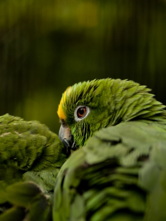 Yellow-crowned Amazon parrot  amazona ochrocephala  perched on a branche photo