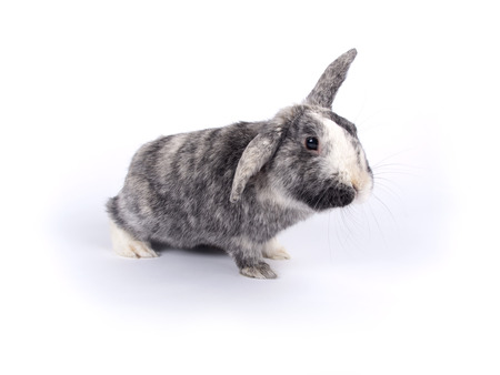 oryctolagus cuniculus: Cute six year old crossbreed of a Holland lob and a Flemish Giant  Oryctolagus cuniculus  with one lobbed ear over white Stock Photo