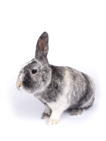 Cute six year old crossbreed of a Holland lob and a Flemish Giant  Oryctolagus cuniculus  with one lobbed ear over white photo