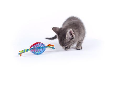 cat toy: J�venes nueve semanas de edad gatito rayado gris mullido sobre blanco con un gato de juguete