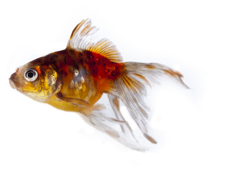 Colorful goldfish with long fins over a white background Stock Photo - 24480068