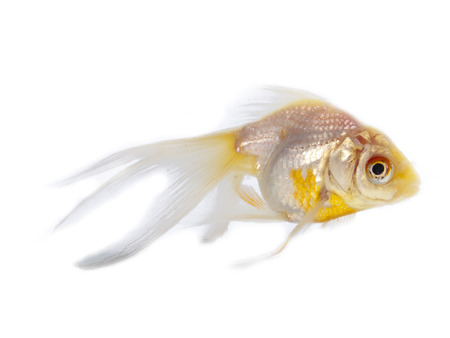 Silver goldfish with long fins over a white background Stock Photo - 24480073