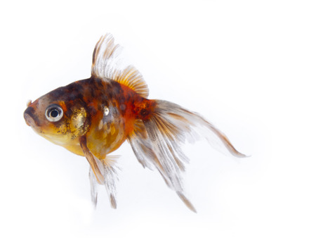 Colorful goldfish with long fins over a white background Stock Photo - 24480074