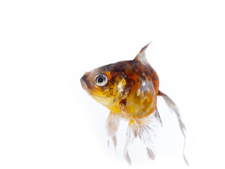 Colorful goldfish with long fins over a white background Stock Photo - 24480075