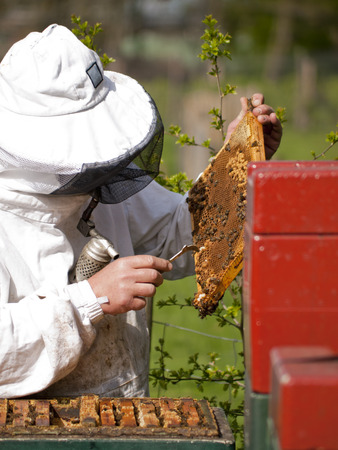 beekeeping: Portrait of a beekeeper with smoker gathering honey at an apiary