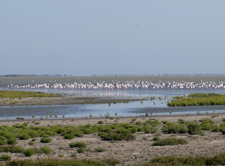 greater: greater flamingos  Phoenicopterus roseus  in Parc Regional de Camargue, Provence, France Stock Photo