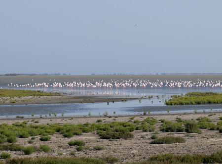grotere flamingo Phoenicopterus roseus in Parc Regional de Camargue, Provence, Frankrijk