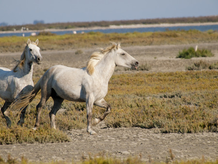 Galloping white horses with flamingos in the back in Parc Regional de Camargue, Provence, France - image has motion blur photo