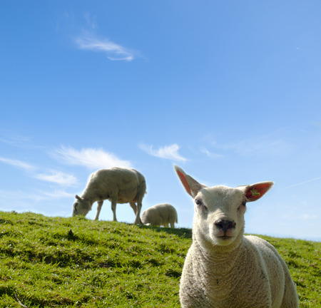 ovine: Spring image of a young lamb with the mother sheep in the background
