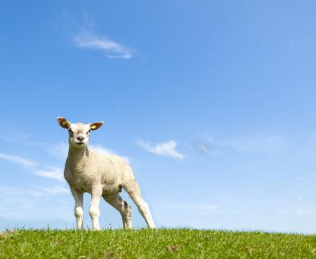 Voorjaar beeld van een jong lam op een groene weide