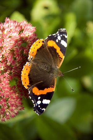 花の上に腰掛けてタテハチョウ蝶