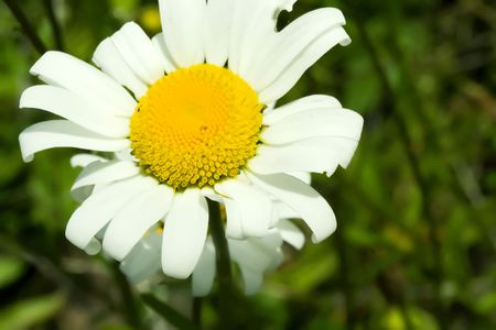brilliantly: A brilliantly white daisy against a blurry green backdrop