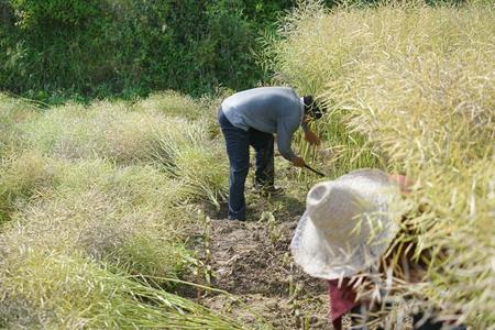 Harvesting rapeseed peduncle