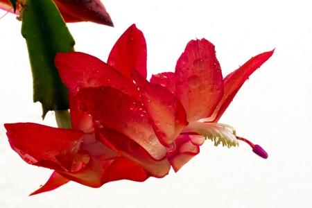 Flor de cactus de Navidad Foto de archivo - 8360403