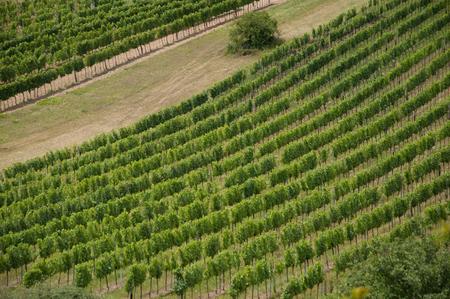 green lines of vine in vineyard