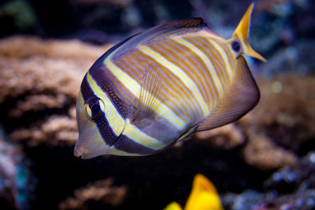 Colorful fish closeup with a coral background. Underwater view of a beautiful stripped fish swimming in the sea. Oceans life concept.