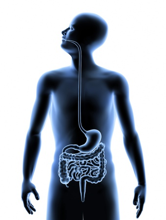 tract: 3D image of the human Digestive system inside the human body.