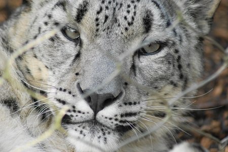 leopard head: Snow Leopard Stock Photo