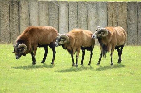 Three Rams photo