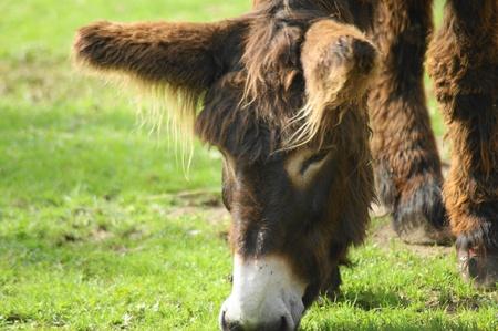 Poitou Donkey Stock Photo - 10465893