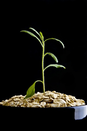 Small plant growing from dry oatmeal in bowl on black background
