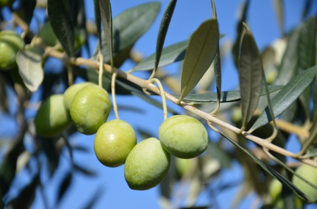 olive branch with its Mediterranean fruits Stock Photo