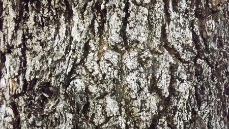 longevity: Bark longevity