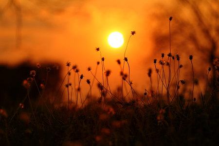 grass flower: Grass flower with sunset
