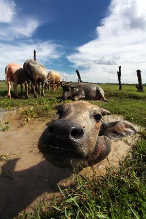bovid: Water Buffalo: The Backbone of Thailand