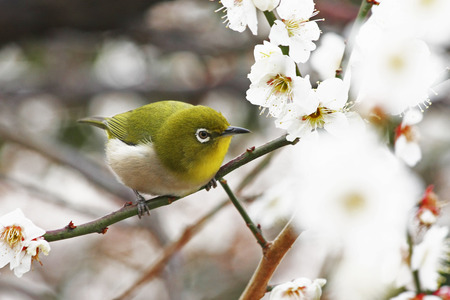 prunus: Japanese White-eye in Prunus Mume