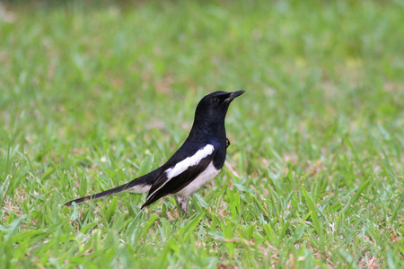 Aoriental magpie robin black and white stripe tropical on grass background