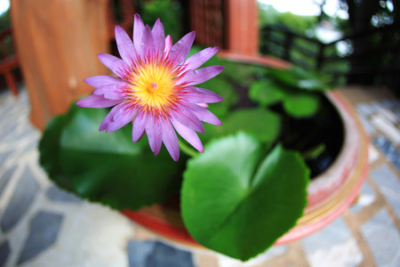Purple lotus flower by fisheye lens