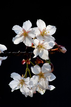 White Spring cherry blossoms on black background Imagens