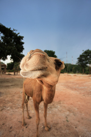 Happy camel smiling