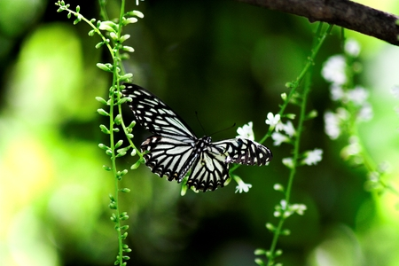 swallowtails: Butterfly: Common Mime, also known as Papilio or Chilasa Clytia with flower