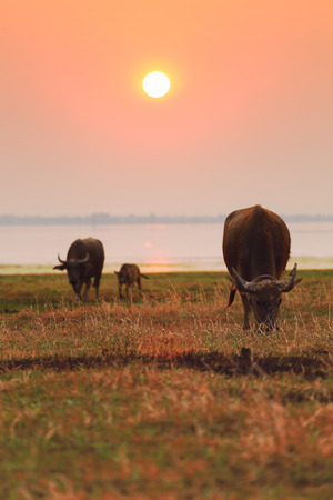 Three Buffalo in the field rice under sunset