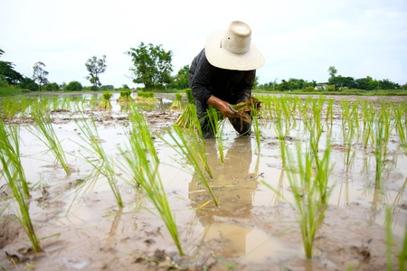 Asian farmer planting rice in field